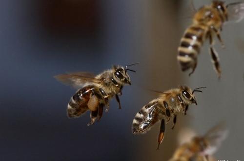 Állat felismerő kvíz- Méh